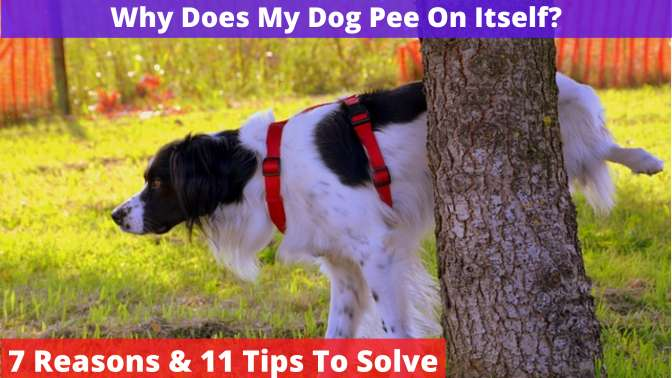 Why Does My Dog Pee On Itself