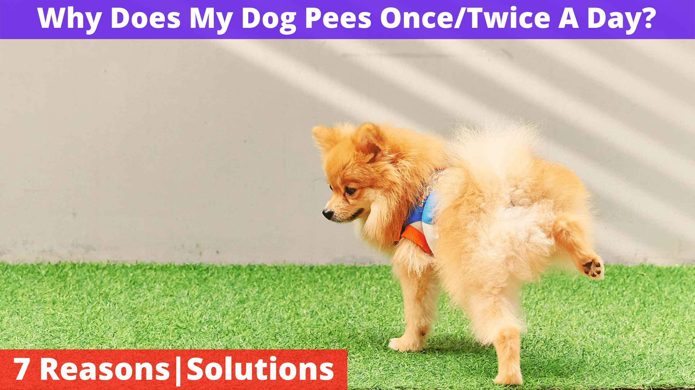 Why Does My Dog Pees OnceTwice A Day