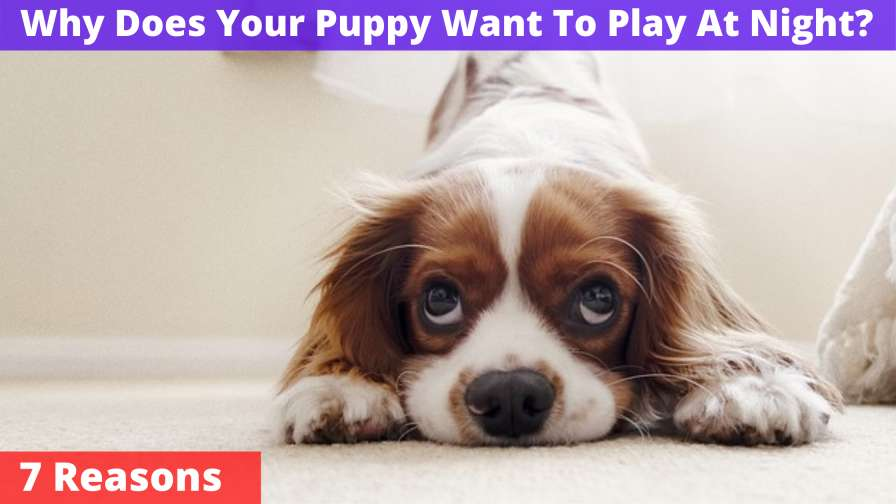 Why Does Your Puppy Want To Play At Night